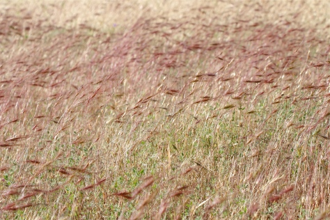 Wild grasses at CC